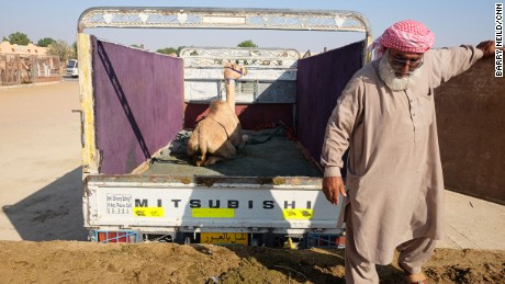 Once purchased, camels are driven away in trucks or pickups.