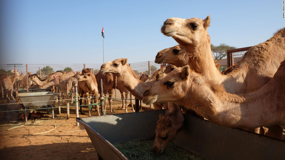 <strong>Camel souk: </strong>Al Ain is home to the last remaining traditional camel market in the United Arab Emirates. Folks come from far and wide to haggle over humped beasts.