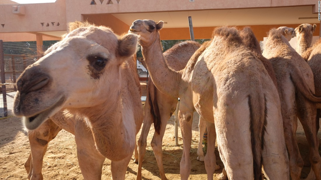"<strong>Tasty beasts: </strong>Khan says his one-year-old camels typically sell for about $1,000. ""These young boys have a good taste, they'll give some nice meat,"" he adds."