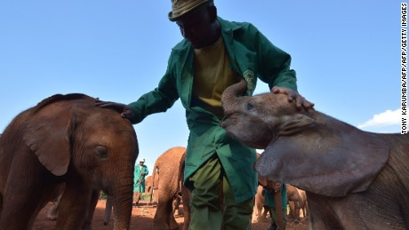A man stands next to young elephants at the David Sheldricks orphan elephant foundation in the Kenyan capital, Nairobi, on September 13, 2014. Hong Kong's lawmaker Elizabeth Quat visited the place as part of her campaign to stop the ivory business and end the killing of elephants, organized in partnership with WildAid, Save the Elephants, the African Wildlife Foundation, the Northern Rangelands Trust and Stop Ivory. A recent study by Save the Elephants found that around 100,000 elephants were killed for their tusks between 2010 and 2012, driven by demand from the new consumers in China and Southeast Asia. AFP PHOTO / TONY KARUMBA        (Photo credit should read TONY KARUMBA/AFP/Getty Images)