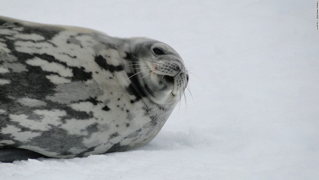 Unlike crabeater seals, weddell seals are extremely placid and can be approached without causing much apparent stress. This one seemed quite happy to pose for a photograph.
