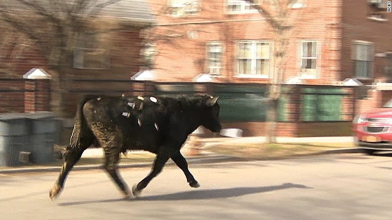 Bull escapes New York slaughterhouse