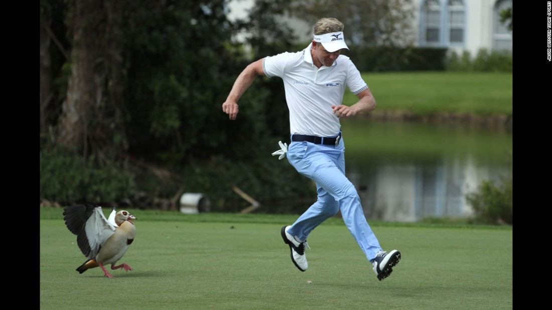 Pro golfer Luke Donald is chased by an Egyptian goose during the second round of the Honda Classic on Friday, February 24. Egyptian geese are common at the PGA National golf course in Palm Beach Gardens, Florida.