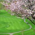cherry blossoms niseko