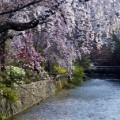 cherry blossoms gion shirakawa