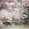 cherry blossoms nara deer park