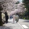 cherry blossoms Kanazawa