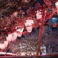 Meguro cherry blossoms