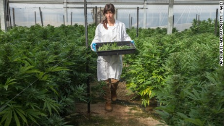 An Israeli woman works at the BOL (Breath Of Life) Pharma greenhouse in the country's second-largest medical cannabis plantation, near Kfar Pines in northern Israel, on March 9, 2016. The recreational use of cannabis is illegal in the Jewish state, but for the past 10 years its therapeutic use has not only been permitted but also encouraged. Last year, doctors prescribed the herb to about 25,000 patients suffering from cancer, epilepsy, post-traumatic stress and degenerative diseases. The purpose is not to cure them but to alleviate their symptoms. Forbidden to export its cannabis plants, Israel is concentrating instead on marketing its agronomic, medical and technological expertise in the hope of becoming a world hub in the field. / AFP / JACK GUEZ / TO GO WITH AFP STORY BY DAPHNE ROUSSEAU        (Photo credit should read JACK GUEZ/AFP/Getty Images)