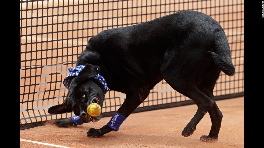 A shelter dog trained as a tennis-ball retriever shows off his skills in Sao Paulo, Brazil, on Saturday, March 4. Shelter dogs performed before a semifinal match at the Brazil Open.