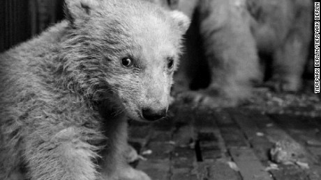 Fritz was seen as the successor to Knut, another polar bear that died in Berlin in 2011.