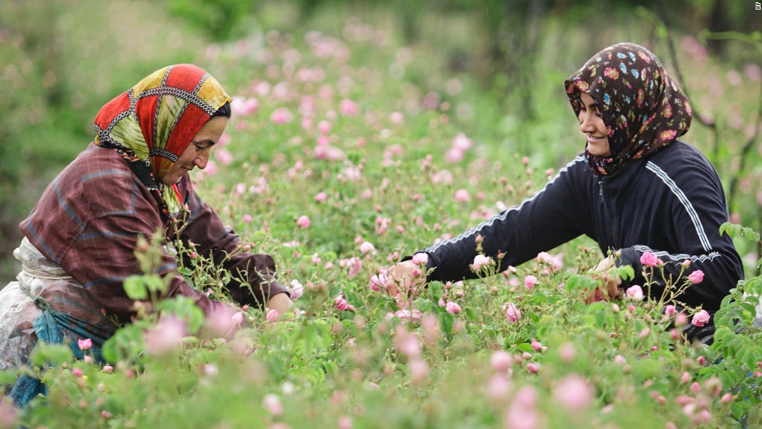 Women pick roses at dawn, ensuring the maximum quantity of oil in the petals in Isparta, Turkey.