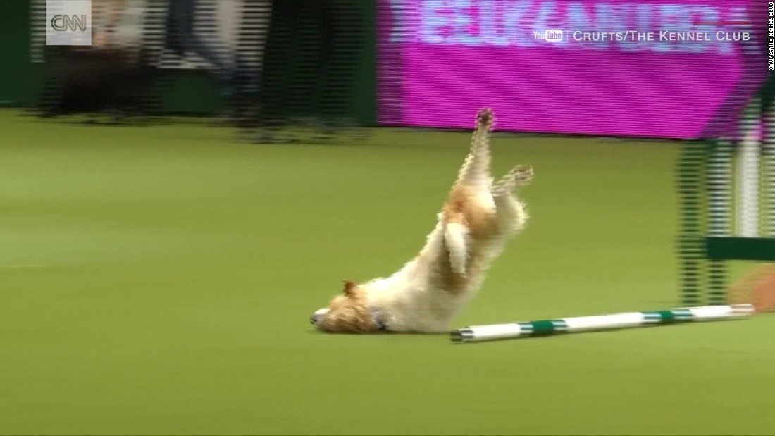 Tumbling Jack Russell Wins Hearts In Dog Show