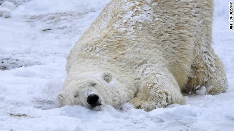 In this photo provided by the Chicago Zoological Society, Nan, a 21-year-old polar bear enjoys the first measurable snowfall in months at the Brookfield Zoo in Brookfield, Ill., Tuesday, March 14, 2017. The National Weather Service issued a lake-effect snow warning for Chicago that expires Tuesday afternoon. (Jim Schulz/Chicago Zoological Society via AP)