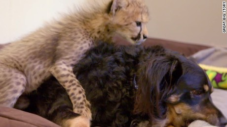 gbs zoo dog cheetahs pkg_00001410.jpg