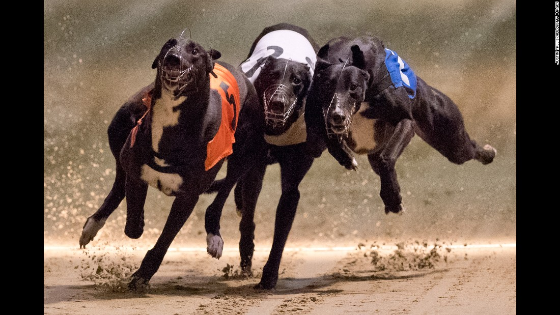 Greyhounds race at London's Wimbledon Stadium on Saturday, March 18.