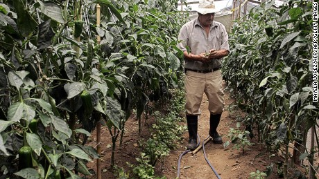 A Costa Rican organic farmer  checking chili plants at a farm near San Jose.