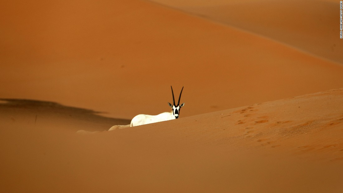 An Arabian oryx is seen at the Arabian Oryx Sanctuary in Umm al-Zamool, near the United Arab Emirates' border with Saudi Arabia, on Thursday, March 23. The sanctuary in Oman's Central Desert and Coastal Hills biogeographical regions is home to a number of the rare antelope species.