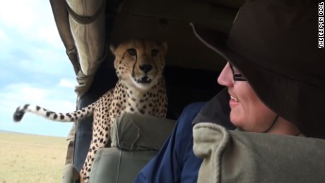 Wild Cheetah Jumps In Car During Safari! Scary Animal Encounter!