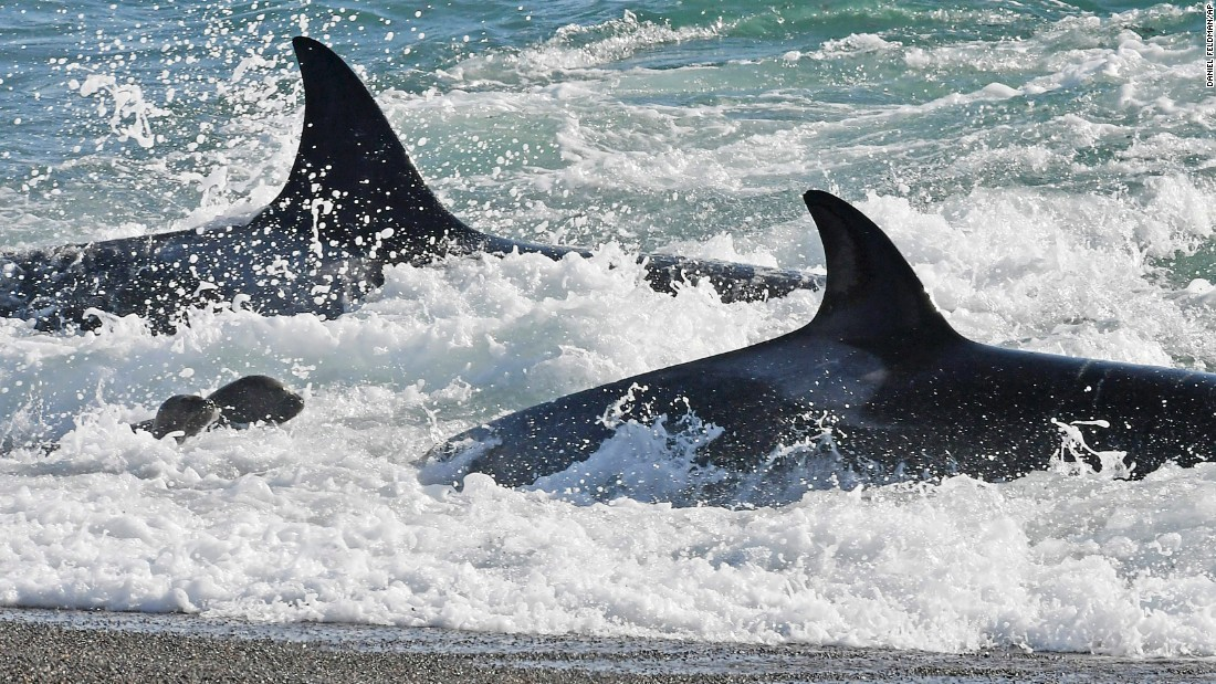 Killer whales prey on young sea lions in Punta Norte, Argentina, on Friday, March 24.