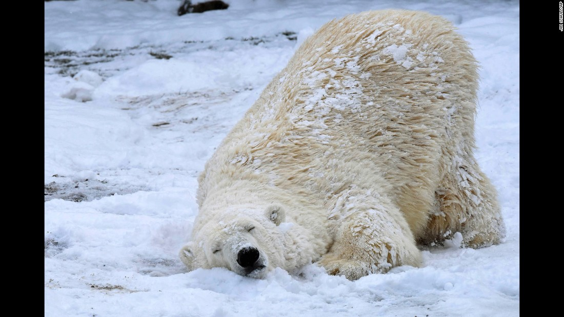 A polar bear named Nan enjoys the snow Tuesday, March 14, at the Brookfield Zoo in Brookfield, Illinois.