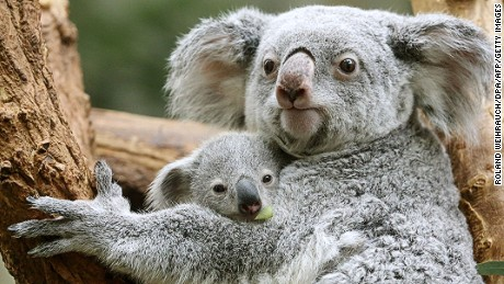 The koala population fell by about 80% between 1996 and 2014 in the Brisbane area.