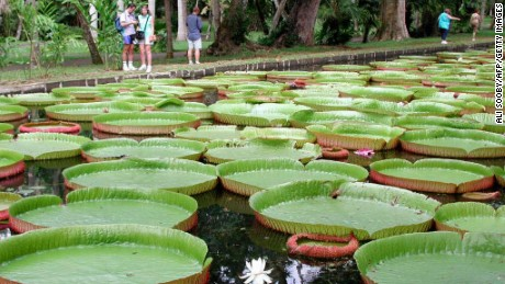 Giant water lilies that will float your boat.