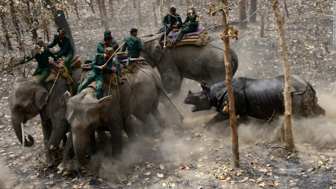 A rhino charges a Nepalese team after being moved to Shuklaphanta National Park on Tuesday, April 4. Conservationists relocated the rare animal to keep it away from poachers and establish a new breeding group.