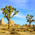 JoshuaTreeNationalPark1.jpg