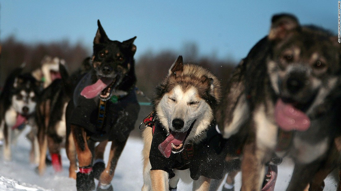 <strong>The Iditarod sled dog race (USA): </strong>The great race across Alaska lasts for at least eight days, covers more than 1,000 miles and takes place in temperatures as low as -50C (-58F).