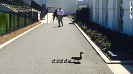 A duck and ducklings at the White House