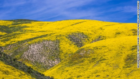 "RESTRICTED  CALIFORNIA VALLEY, CA - MARCH 28:  Hillsides and cattle pastures along Highway 58 between Santa Margarita and McKittrick are covered in wildflowers as viewed on March 28, 2017, near Carrizo Plain National Monument, California. Located on the eastern border of San Luis Obispo, this high valley is experiencing an epic wildflower ""superbloom"" of goldfields, tidy tips, tickweed, fiddleheads, lupine, and hillside daisies. (Photo by George Rose/Getty Images)"