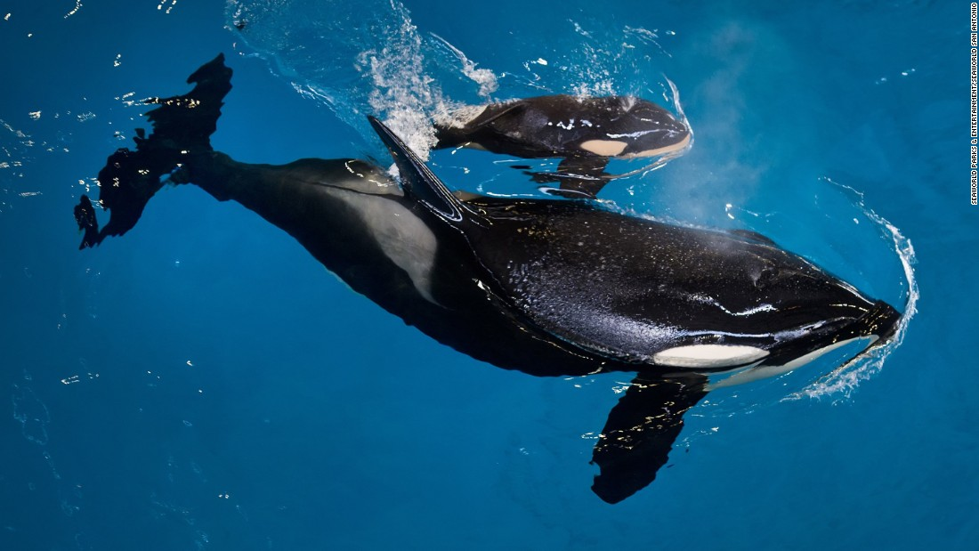 Baby killer whale, the last to be born at SeaWorld, dies