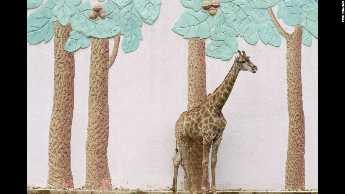 A giraffe stands by a wall with fake tree carvings at the Central Zoo in Pyongyang, North Korea, on Thursday, April 20.