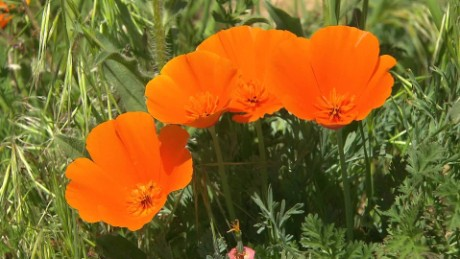 California Poppy bloom TL nccorig_00001016.jpg