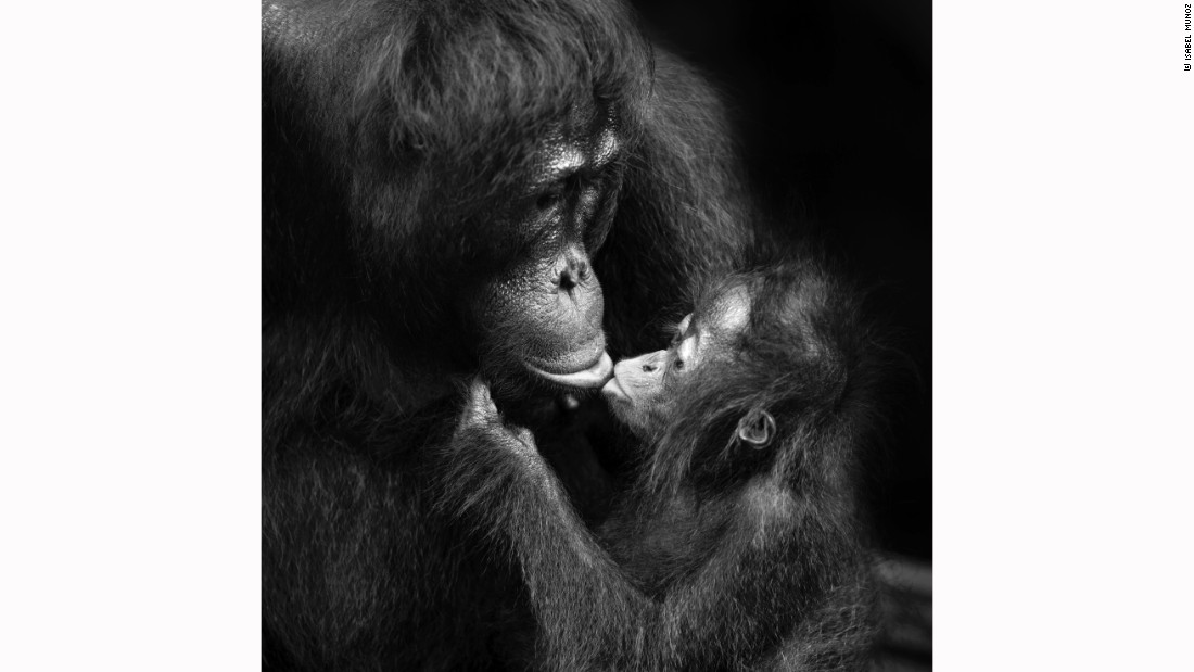 Spanish photographer Muñoz won the 2016 National Photography Prize in Spain. This series of photos is designed to reflect the similarity between family bonding expressed by humans and primates.