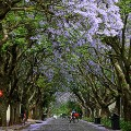 Beautiful South Africa 15 Jacaranda season Joburg-187634822