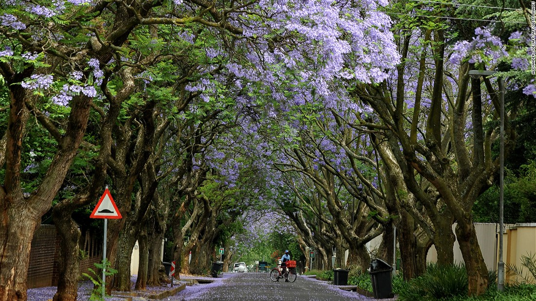 <strong>Jacaranda season in Pretoria or Johannesburg: </strong>In late October to early November every year, there are few things more beautiful than the purple blossoms spilling from the trees across the city.