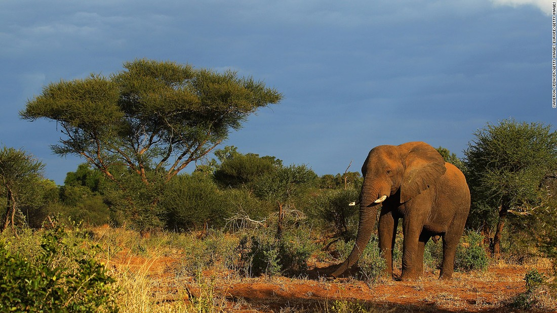 An elephant walks at the Pafuri game reserve in Kruger National Park, one of the largest game reserves in South Africa.