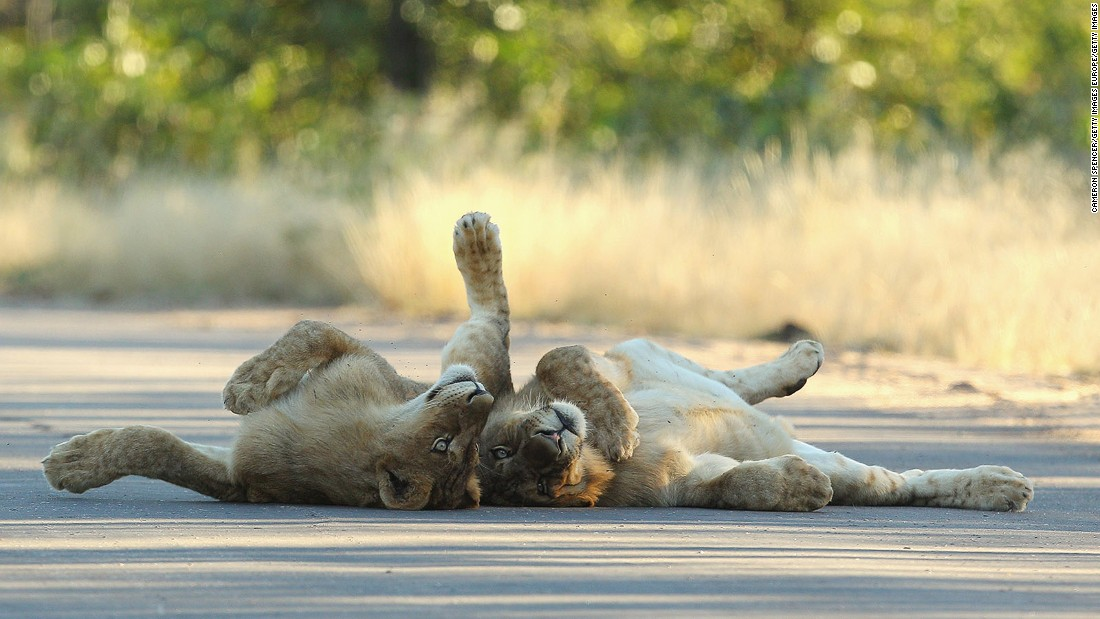 Young male lions relax on a sealed road at the Pafuri game reserve in South African's Kruger National Park.
