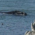 Beautiful South Africa 25 Hermanus Whale GettyImages-51359838