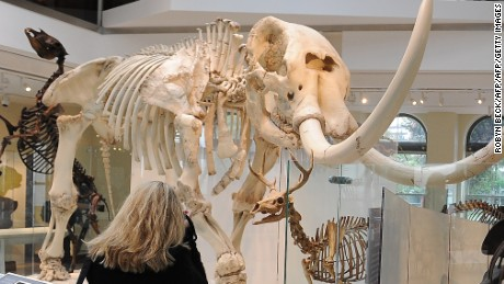 "A visitor looks at a skeleton of a Simi Valley Mastodon beside a video describing how changes in the earth and climate effect the evolution of mammals, during the press preview of the ""Age of Mammals"" exhibition and the newly restored 1913 building  in which it is housed, at the National History Museum of Los Angeles County, July 8, 2010 in Los Angeles.  The ""Age of Mammals"", which opens to the public on July 11, is the first exhibition in the 97-year-old building since restoration work began five years ago. The USD $107 million dollar project included a major seismic strengthening. In the foreground is the head of a skeleton of a Teleoceras Fossiger, a hippo-like rhinoceros.  AFP PHOTO / Robyn Beck (Photo credit should read ROBYN BECK/AFP/Getty Images)"