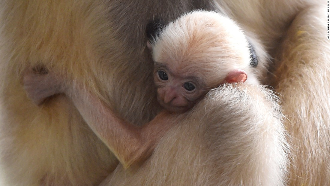 A white-cheeked gibbon clings to its mother at the Twycross Zoo in Atherstone, England, on Tuesday, April 25. The species is critically endangered.