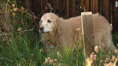 Chance, a 10-year-old golden retriever, rides out his buzz after consuming edible marijuana in Colorado - a potentially dangerous condition for pets