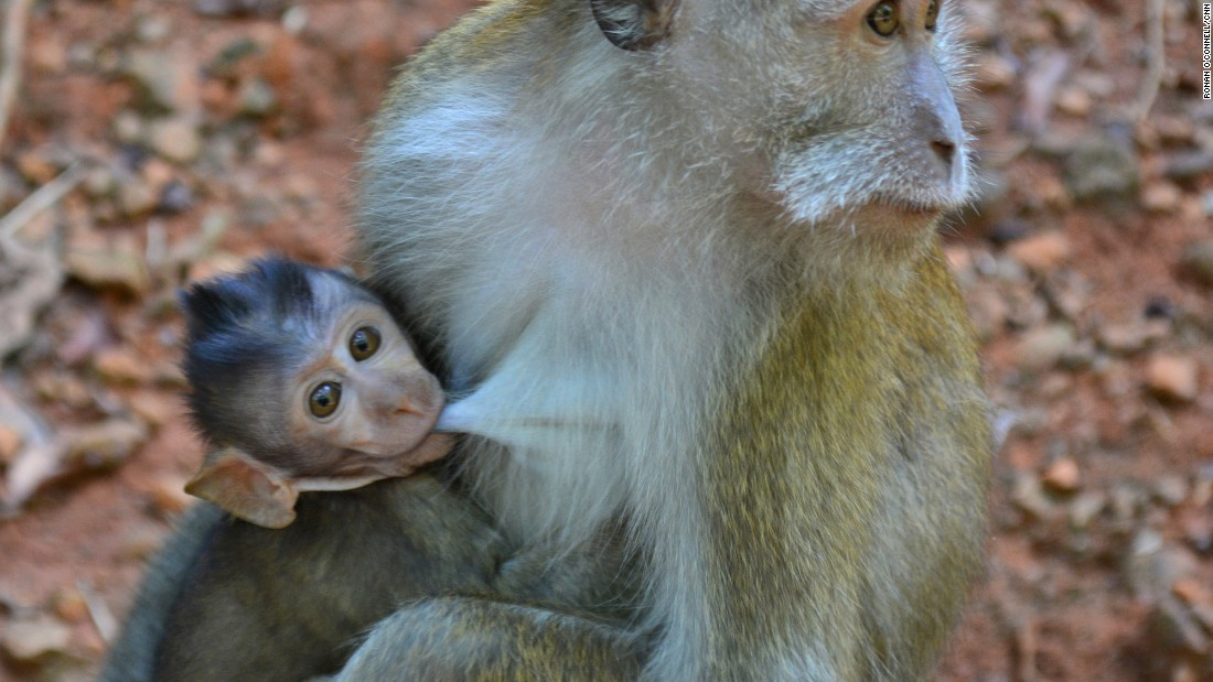 <strong>Dayang Bunting Island:</strong> A monkey protects its baby on Dayang Bunting Island.