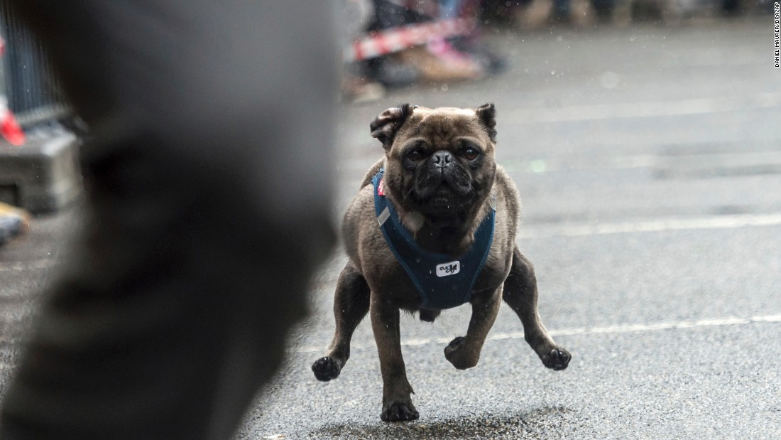 "A pug races in Winnenden, Germany, on Sunday, May 7. <a href=""https://www.stuttgart-tourist.de/en/a-winnenden"" target=""_blank"">The legend of the Winnenden Pug</a> traces back to the year 1717, when the pug of Duke Alexander became separated from his master during the Battle of Belgrade. He returned 11 days later after a long walk."