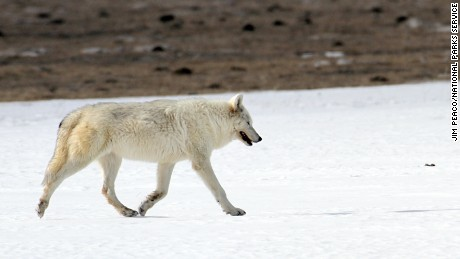 A rare white female wolf of the Canyon pack in Yellowstone Park in February, 2015. The wolf was found by hikers last month and a necropsy has shown the wolf was shot illegally.