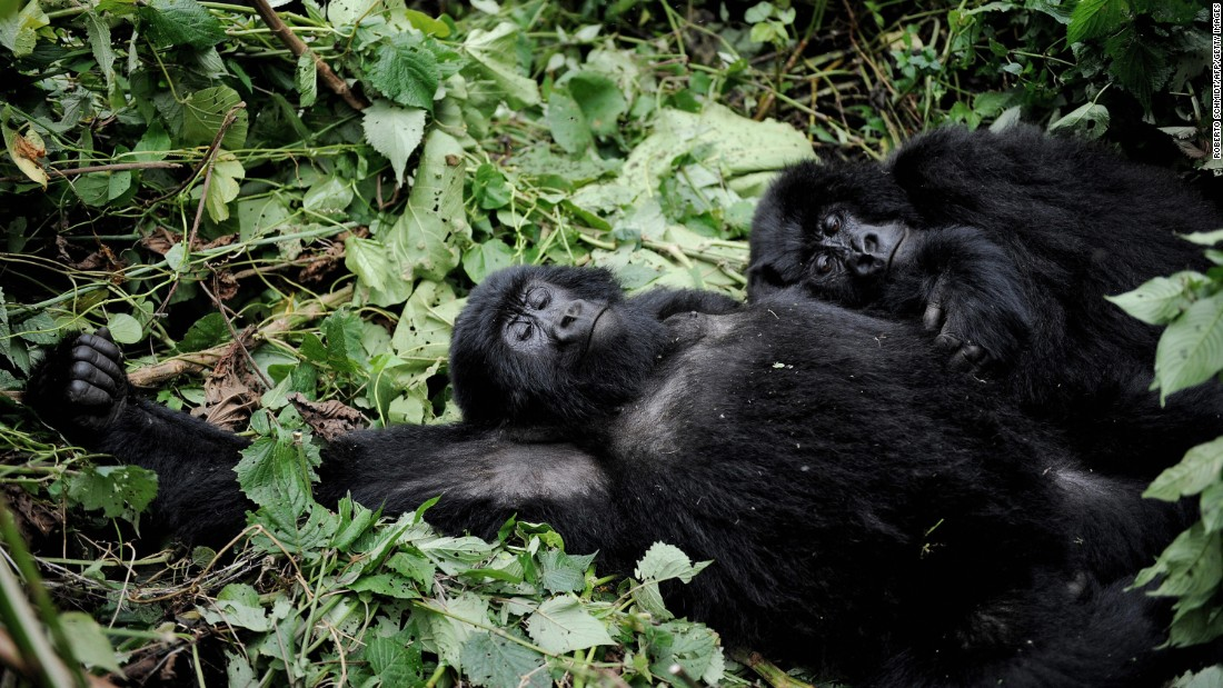 Two mountain gorillas lay on a bed of brush in a clearing on the slopes of Mount Mikeno in the Virunga National Park.