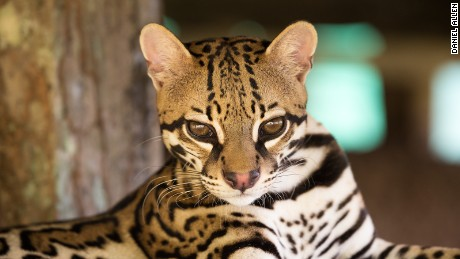 "3.) The elusive ocelot is the third largest of Costa Rica's six wild cat species after the puma and jaguar. With outsized feet, which help it climb trees, its  Spanish nickname is mano gordo (""fat hand""). Nocturnal, they prey on everything from small rodents to iguanas."