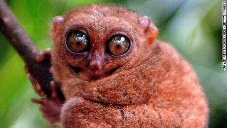 BOHOL, PHILIPPINES:  A Tarsier stares out towards visitors from inside its cage at a captive breeding center in Loboc on Bohol island, in the central Philippines 11 January 2005.  Officials say the tiny tree-dwelling mammals, sometimes called the world's smallest monkeys, are in danger of extinction due to the disappearance of the country's forests.    AFP PHOTO/Jay DIRECTO  (Photo credit should read JAY DIRECTO/AFP/Getty Images)